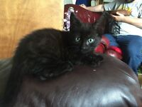 Stunning male kitten 8 weeks eating using litter tray gentle with everyone