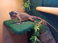 red iguana female with viv or without
