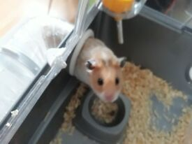 Syrian hamster 10 wk old