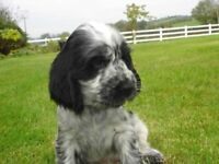 Blue Roan Cocker Spaniel Pups For Sale