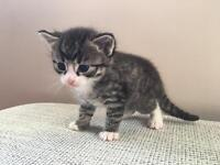 SOLD! Ragdoll x British shorthair silver tabby male kitten