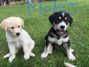 Beautiful puppies ready to go!