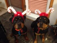 Well Trained Young Adult Rottweilers
