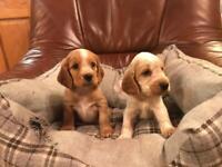 Cocker Spaniel Pups KC Registered