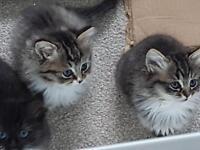 Persian/Ragdoll kittens for sale