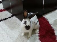 Neutered and litter trained, house rabbit looking for a good home