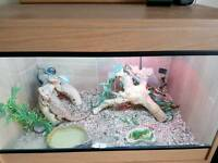 Bearded dragon viv setup with 2 bearded dragons m/f