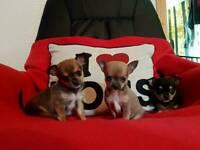 kc chihuahua pups