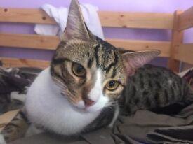Beautiful friendly male cat in N7