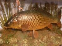 taxidermy cased carp