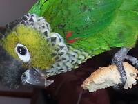 Young black capped conures