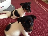Chiwowow + Jackrussell puppys
