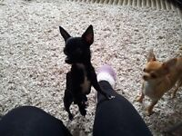 chihuahua's for sale 3 x male puppies