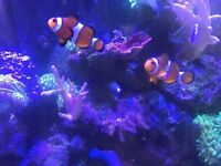 Clownfish pair, marine
