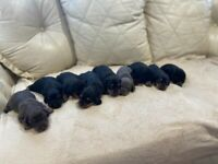 Pra clear miniature dachshund puppies black and tan only