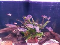 4 Parachromis Friedrichsthali Cichlids