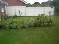 nine laurel bushes