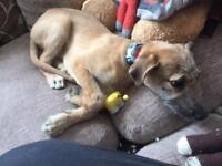 Shabby greyhound