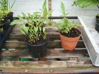 Scabious Plants - Yellow - Perennial