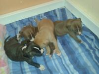 4 Staff X Bulldog pups for sale 3 Females 1 Male