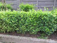Mature Box Plants