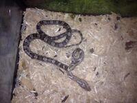 corn snake,s