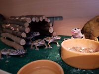 Leopard gecko babies - 8/9 weeks old