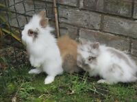 Baby Lionhead Baby Rabbit ready to go to a new home