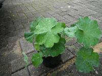Plants for sale- Achemilla Mollis plants