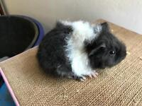 Baby Male guinea pigs available