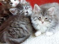 Norwegian forest cat kittens for sale