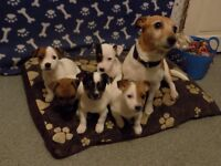 Jack Russell Puppies 4 females 1 male Beautiful facial markings and white bodied.