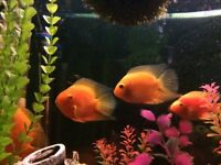 Red Spotted Severums x 3