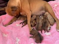 Red Staffordshire bull terrier puppies