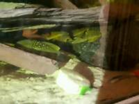 Tropical fish cichlids plecs etc
