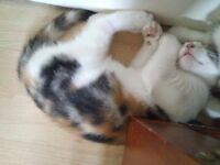 Special Mixed Tabby Calico kitten
