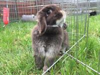 Chocolate otter mini lop doe 1 year old.