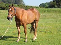 American Quarter Horse Gelding