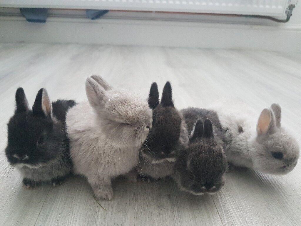 dwarf lop bunnies for sale essex