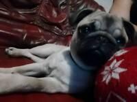 7 month old pug