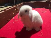 Beautiful Blue-eyed Pure Mini Lop Bunny