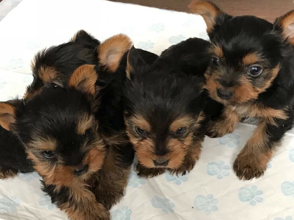 Miniature Yorkshire Terrier Bitches For Sale Yorkie Girls In