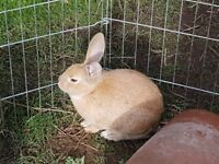 2 13-week-old honey-coloured rabbits looking for forever home