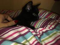Beautiful Black Kitten for sale!