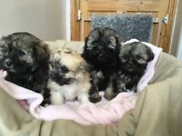 poodle X Shih tzu puppies ready now