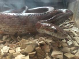 Adult Corn Snake w/ Vivarium