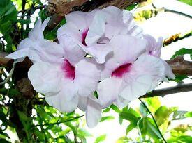 PANDORA JASMINOIDES. A climber or bush if kept pinched out