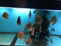 10 Discus fish