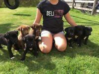 Beautiful Border Collie x Labrador Puppies