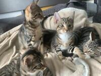 Tabby Bengal kittens